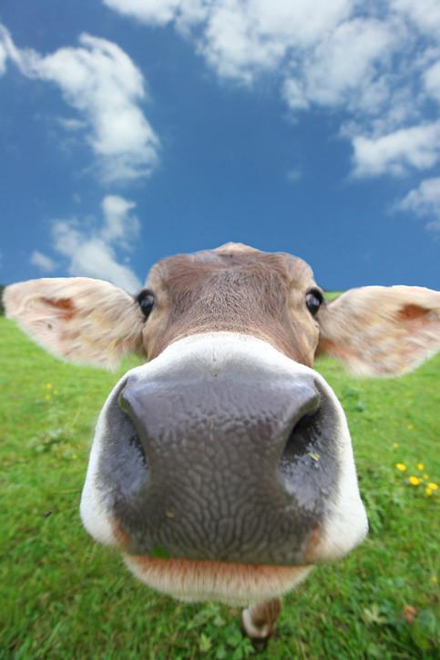 Monólogo insosso para apascentar bovinos